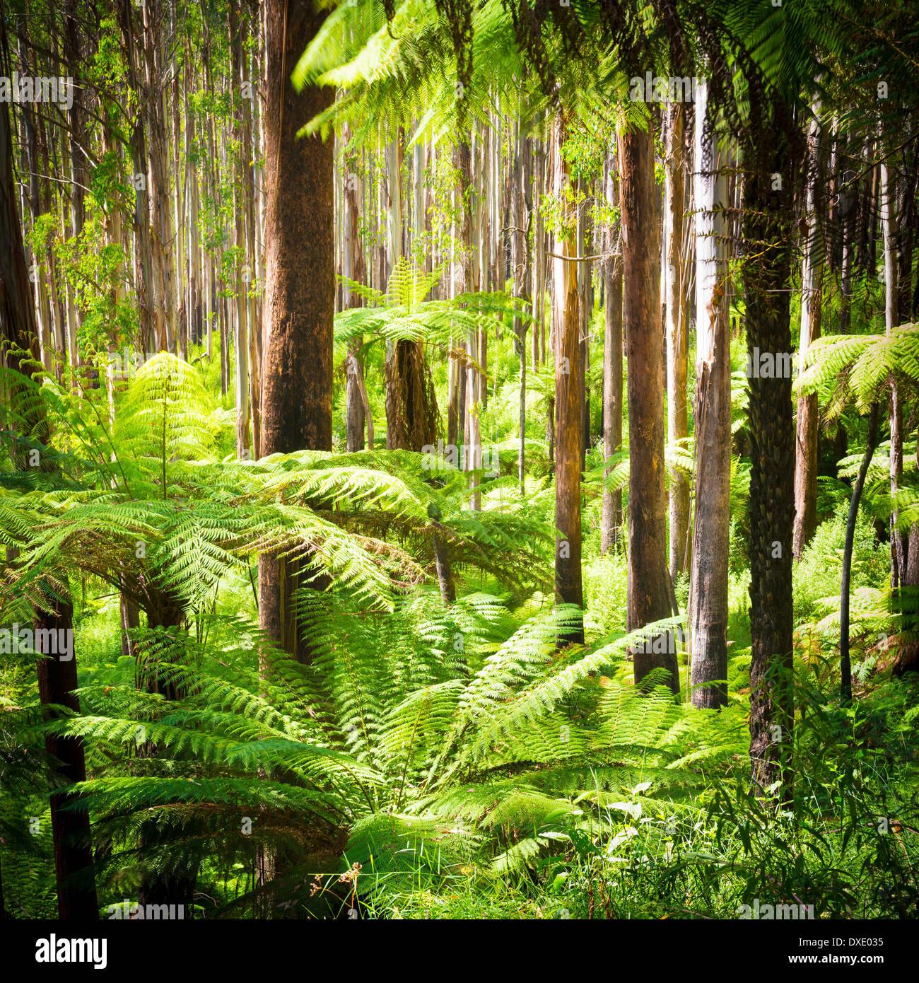 Lussureggianti felci, felci arboree e torreggiante montagna lungo lo sperone nero, Victoria, Australia Immagini Stock
