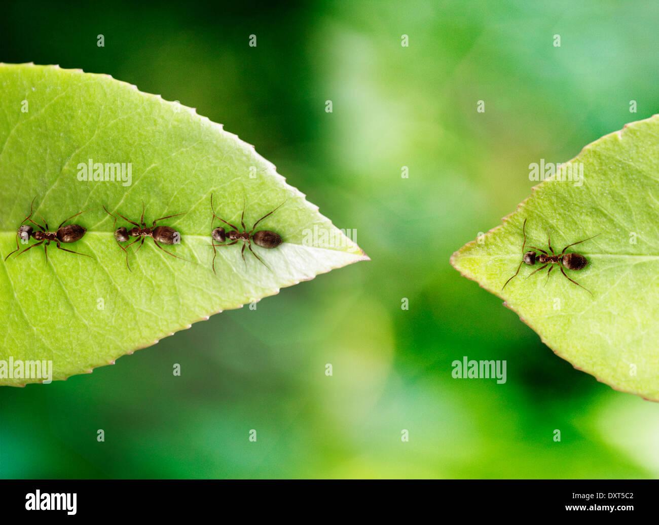 Ant arenati su foglie Immagini Stock