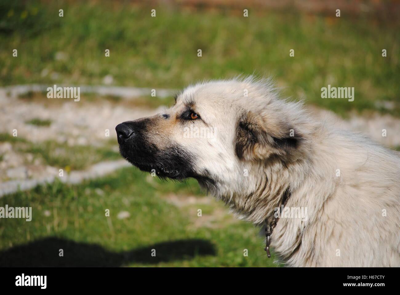 Cane di pecora prestando attenzione. Immagini Stock