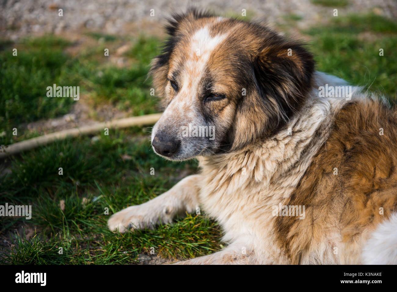 L'Italia, Toscana, bianco e marrone di fur cane relax su una strada sterrata prestando attenzione a qualcosa Immagini Stock