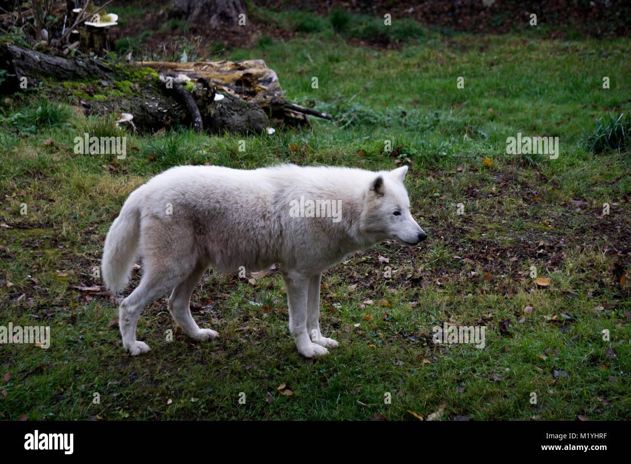 Majestic bianco, lupo polare prestando attenzione al movimento della distanza Immagini Stock