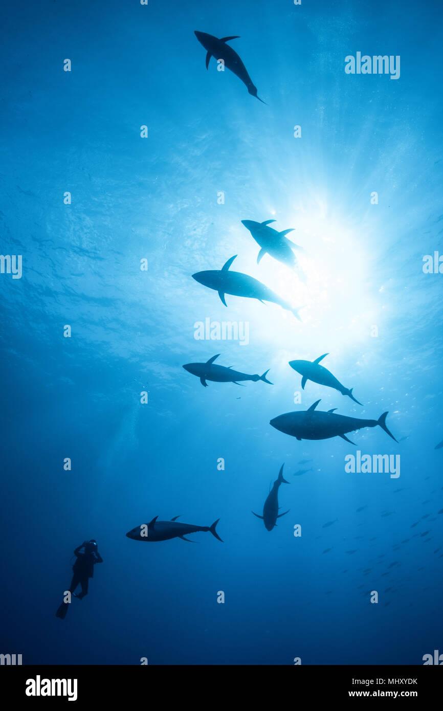 Sub Scuola di fotografia di tonno albacora, Revillagigedo arcipelago, Tamaulipas, Messico Immagini Stock