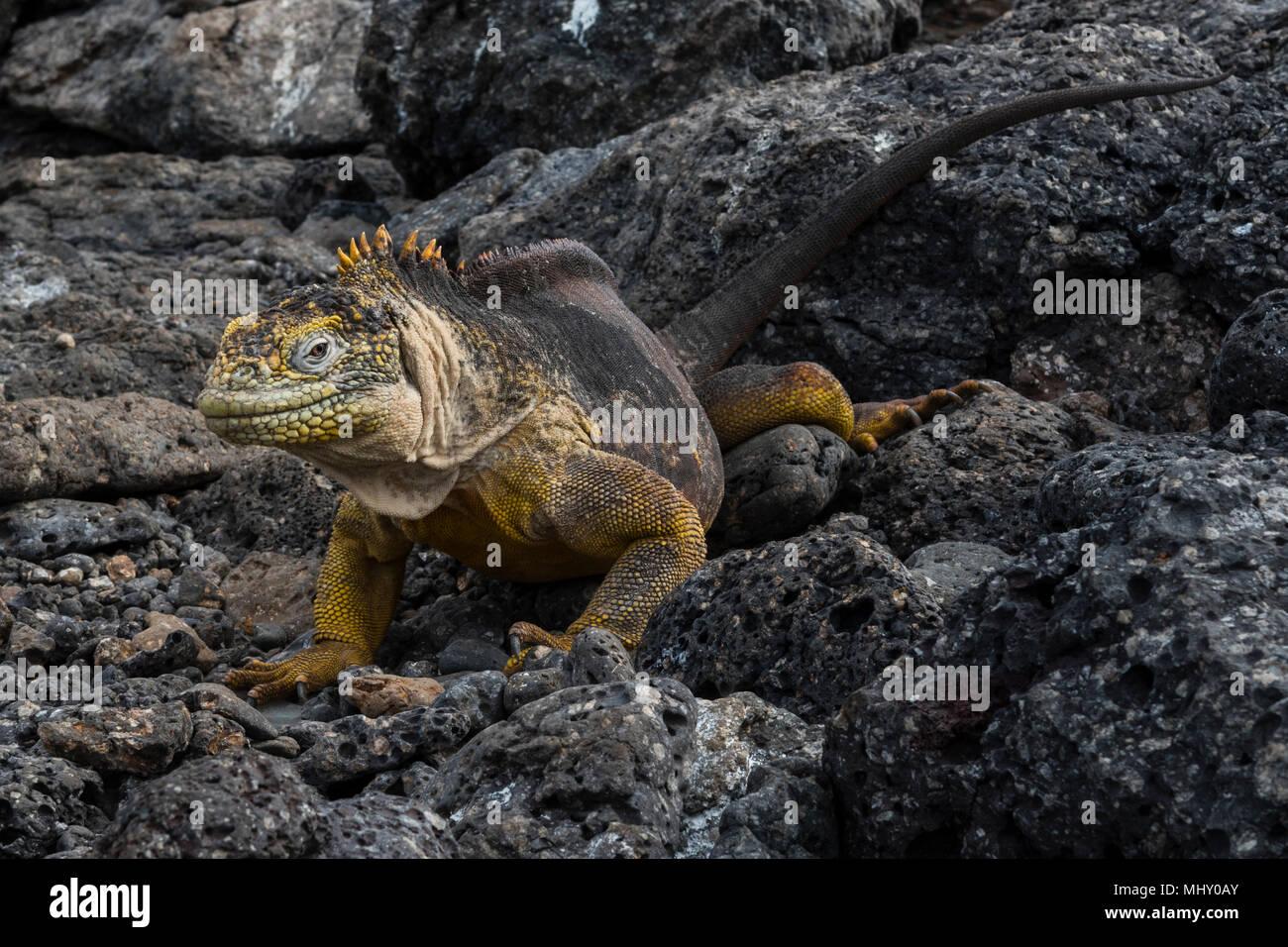 Land Iguana (Conolophus subcristatus) sulle rocce, South Plaza Island, Isole Galapagos, Ecuador Immagini Stock