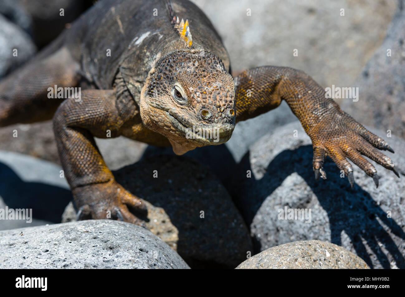 Land Iguana (Conolophus subcristatus) sulle rocce, vicino South Plaza Island, Isole Galapagos, Ecuador Immagini Stock