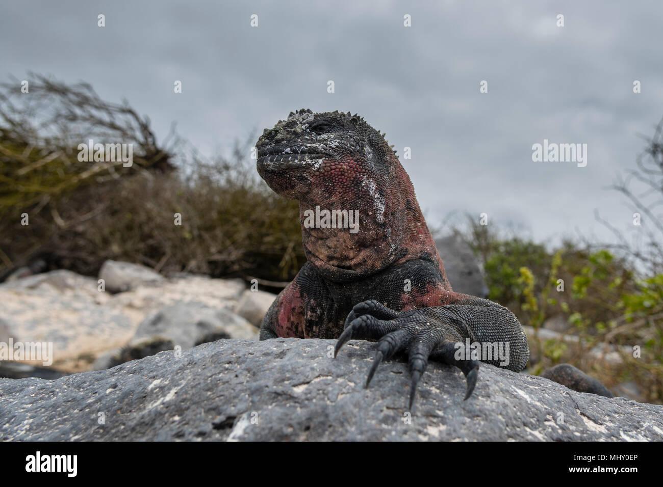 Iguana marina (Amblyrhynchus cristatus) sulle rocce costiere, Punta Suarez, all'Isola Espanola, Isole Galapagos, Ecuador Immagini Stock
