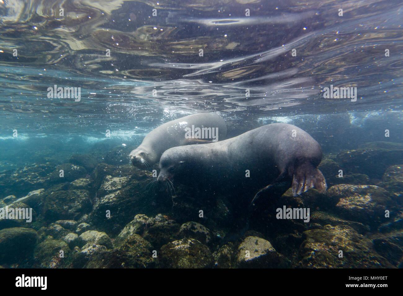Le Galapagos i leoni di mare (Zalophus californianus wollebaeki), subacquea shot, Isola di Santa Fe, Isole Galapagos, Ecuador Immagini Stock