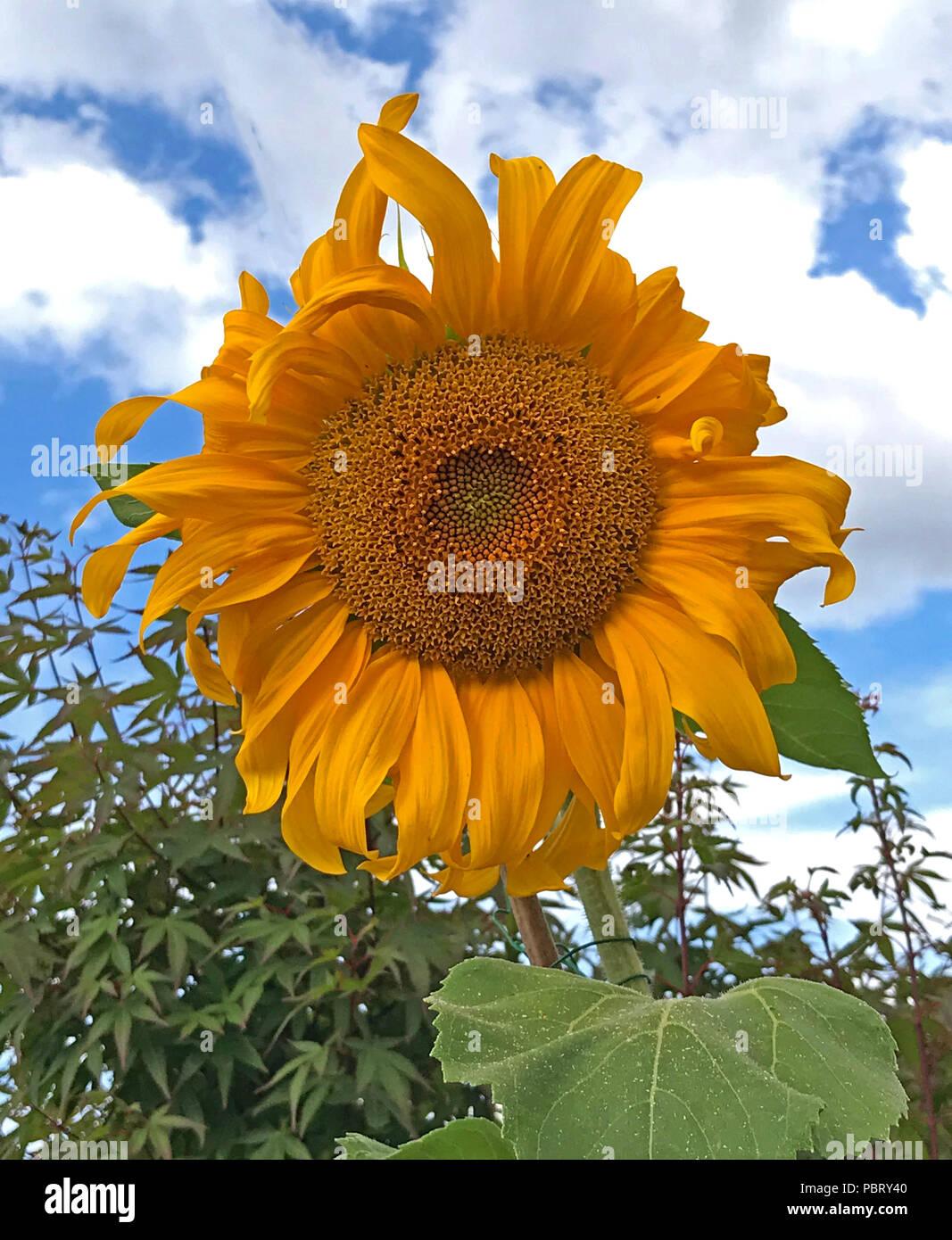 GoTonySmith,@HotpixUK,Helianthus,orange,yellow,flower
