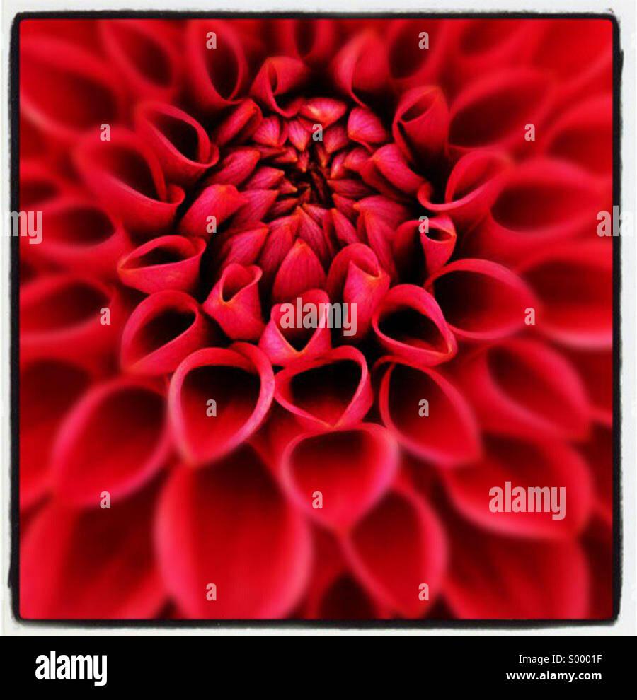 Close up fiore rosso Immagini Stock