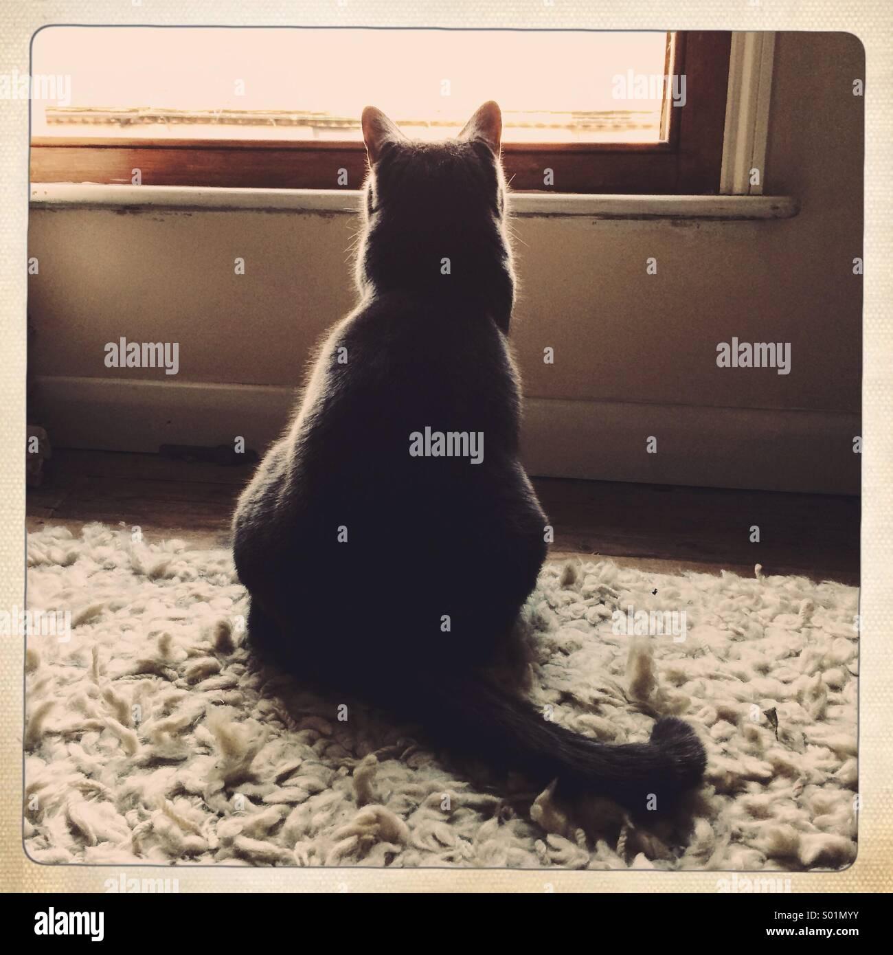 Un gatto grigio guarda fuori da una finestra Immagini Stock