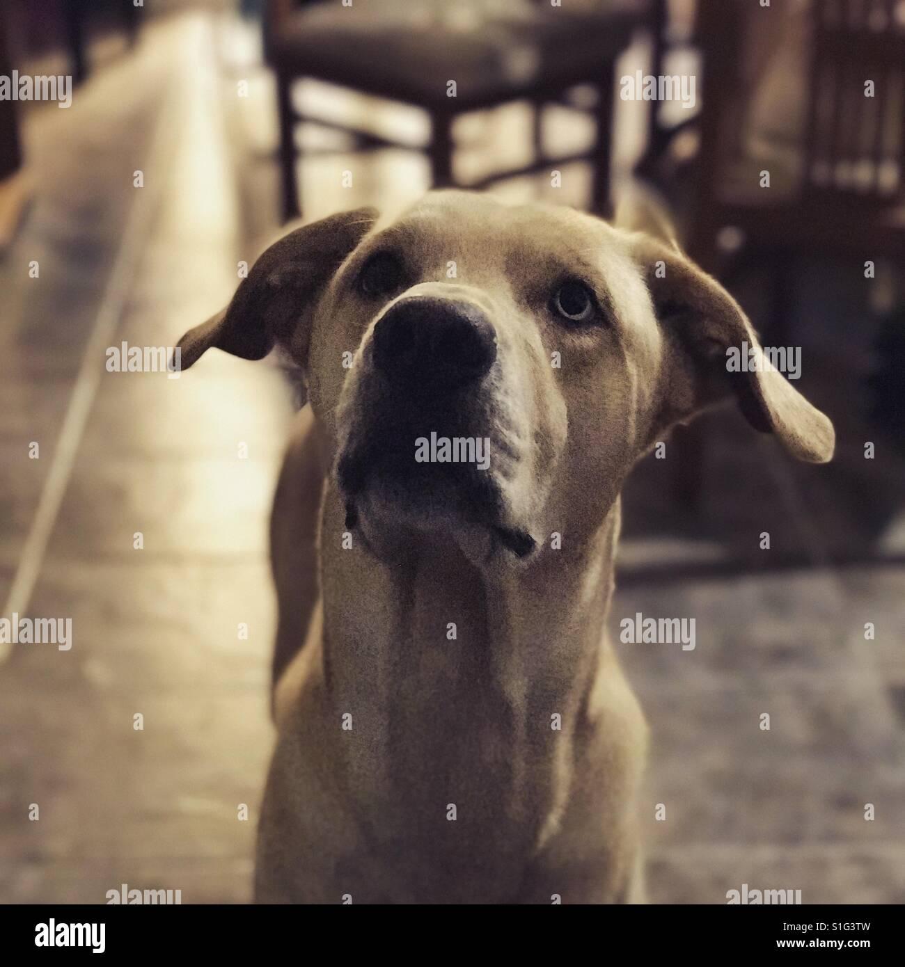 Marrone chiaro retriever cane prestando attenzione Immagini Stock