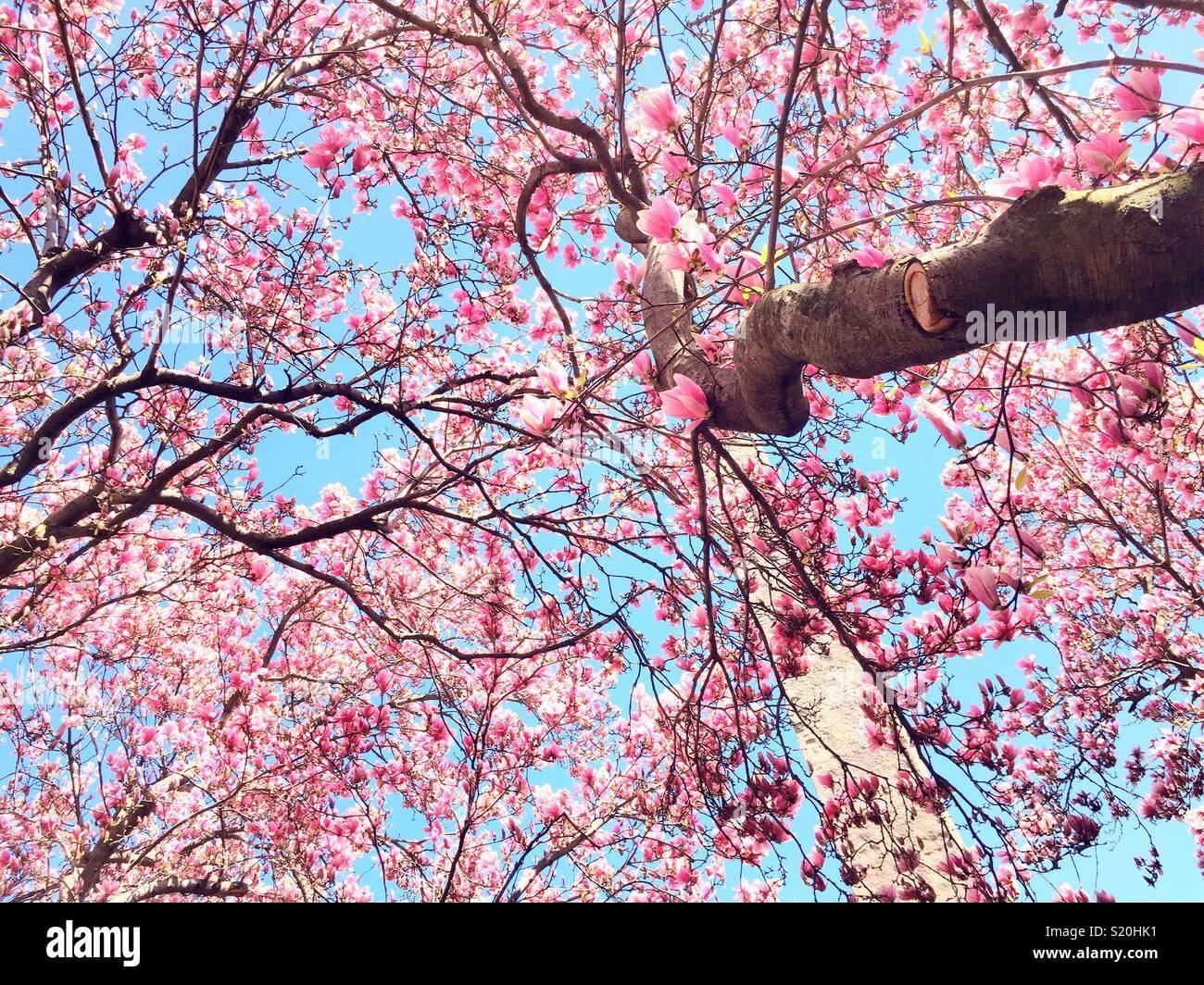 Primavera a Cleopatra Needle, circondato da rosa fiori di magnolia, Central Park, New York, Stati Uniti d'America Immagini Stock