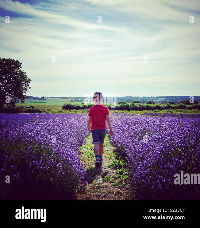Bambino a piedi attraverso i campi di lavanda in campagna inglese Immagini Stock