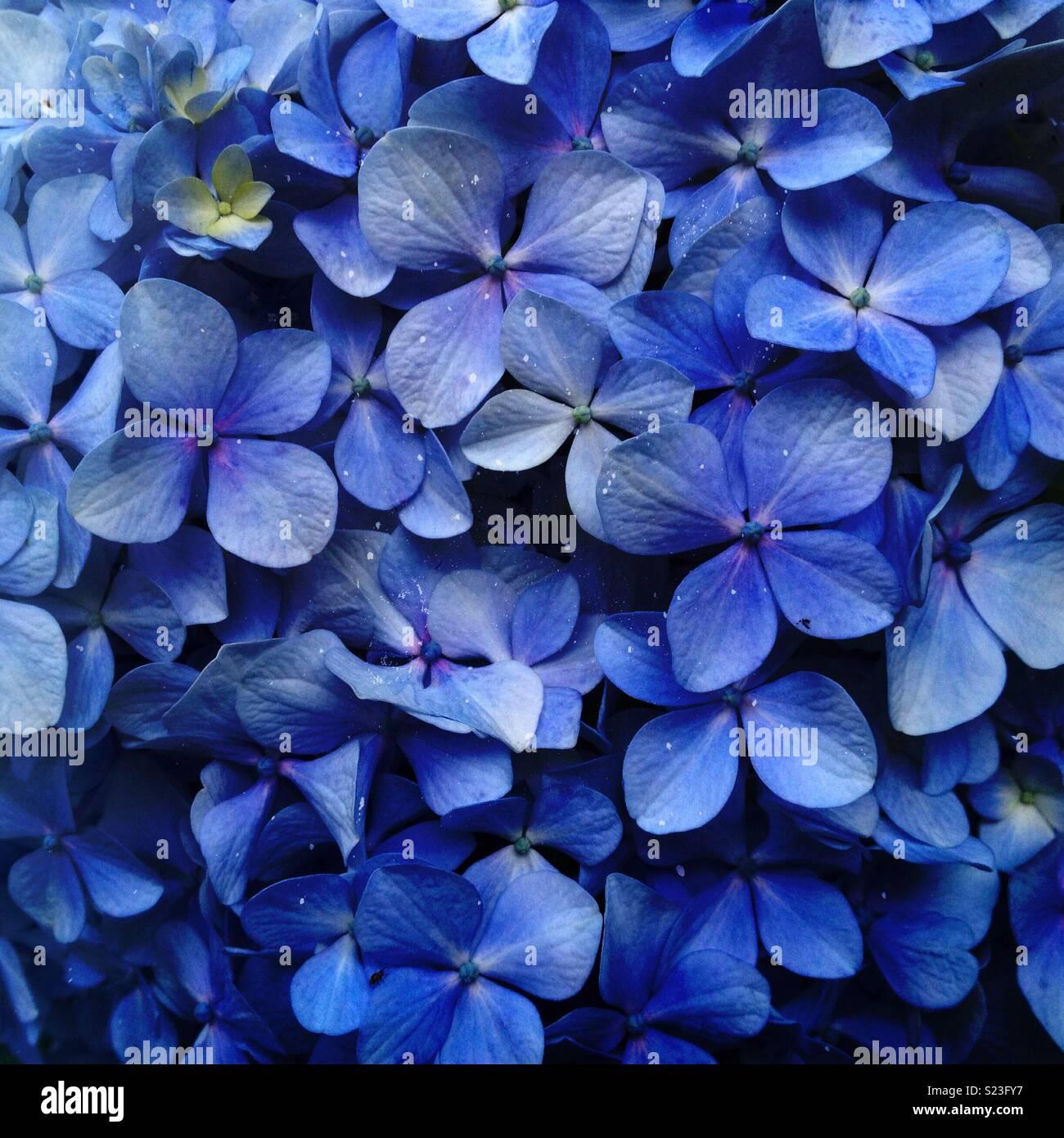 Primo piano di una blu hortensia fiore, ortensie Immagini Stock