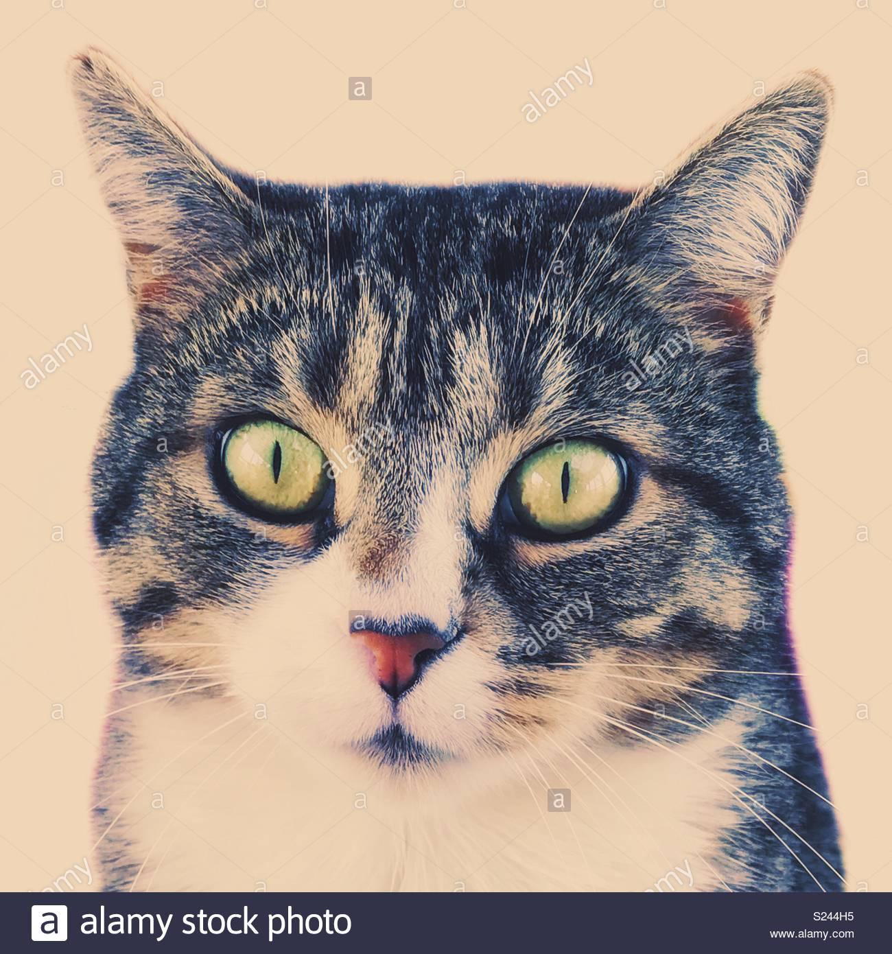 Ritratto di un grigio Tabby Cat Immagini Stock
