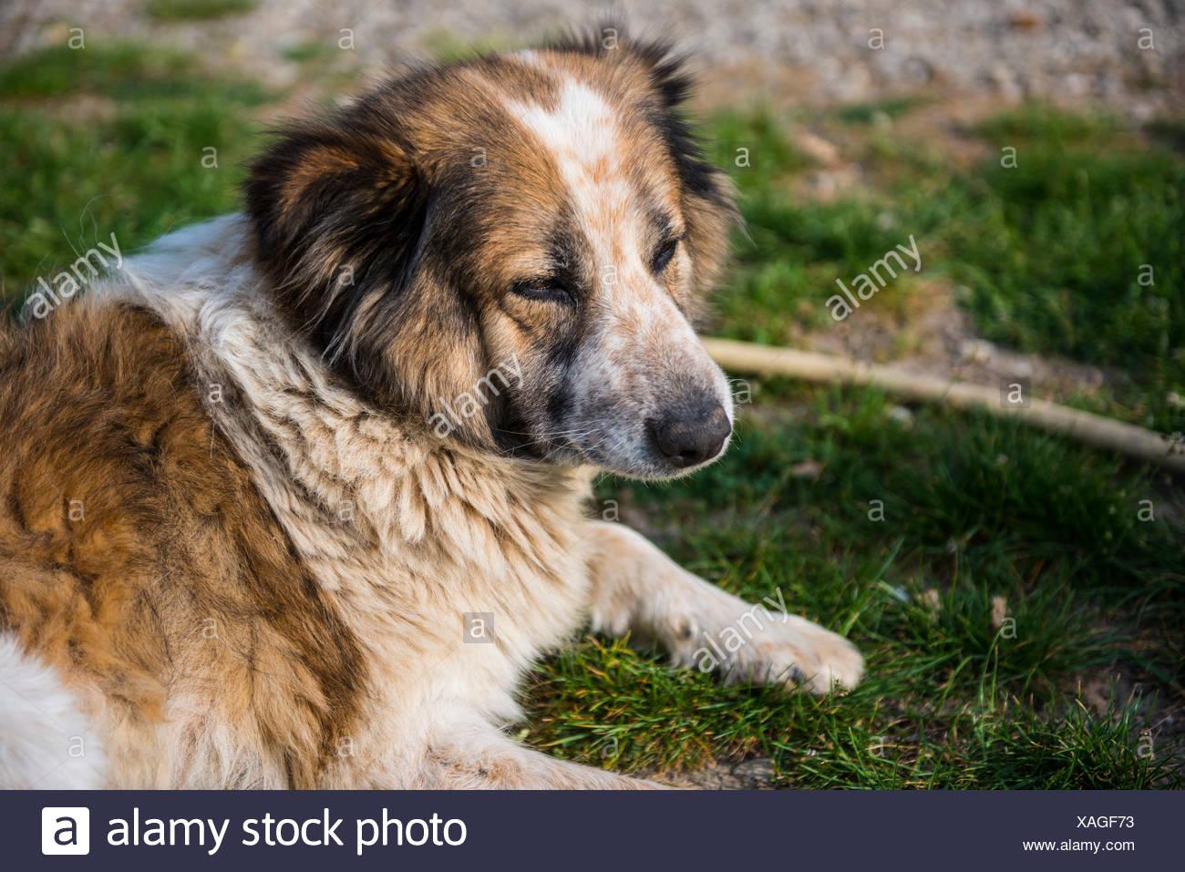 L'Italia, Toscana, bianco e marrone di fur cane relax su una strada sterrata prestando attenzione a qualcosa di Immagini Stock