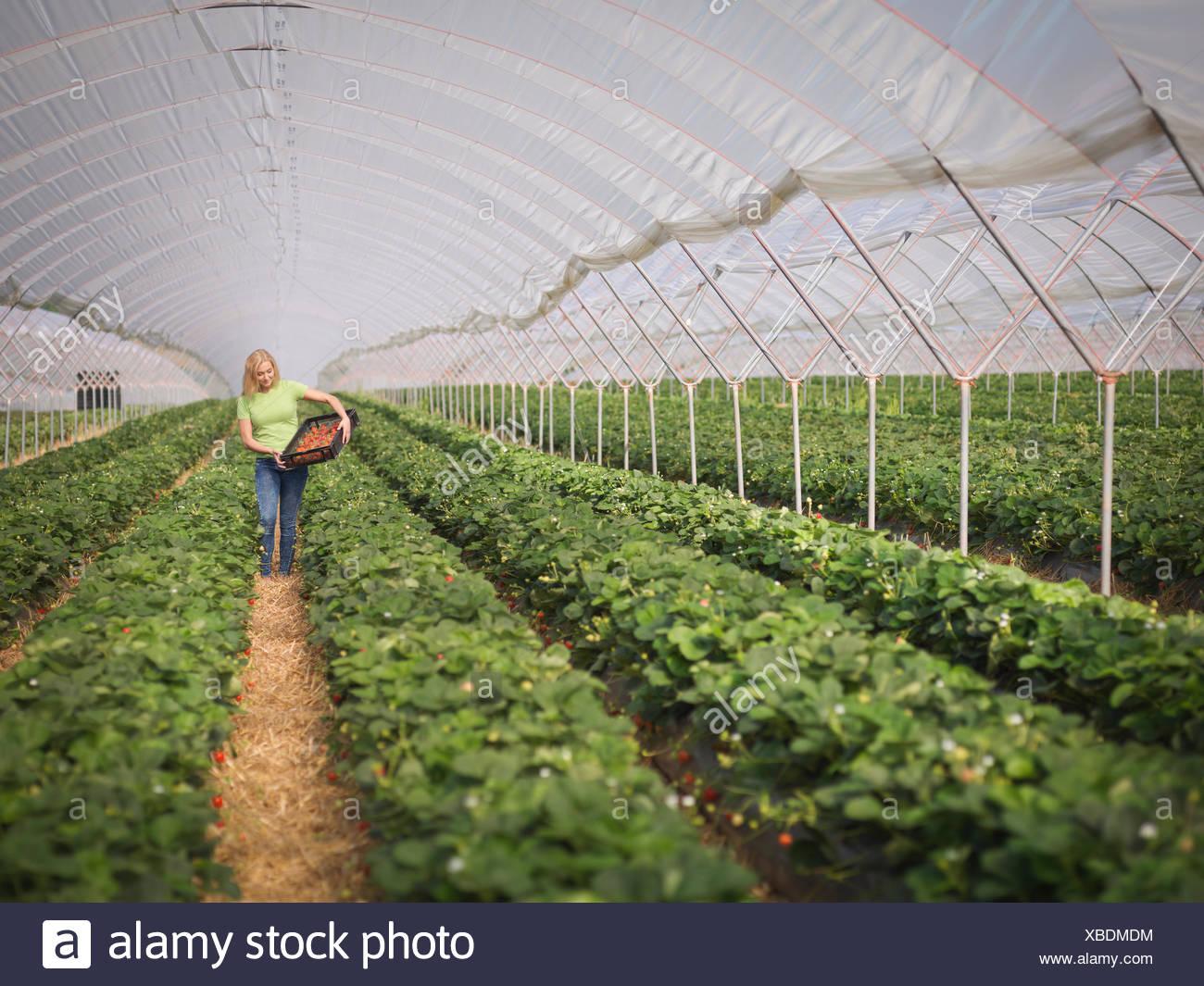 Lavoratore la raccolta di fragole in polytunnel dell azienda frutticola Immagini Stock