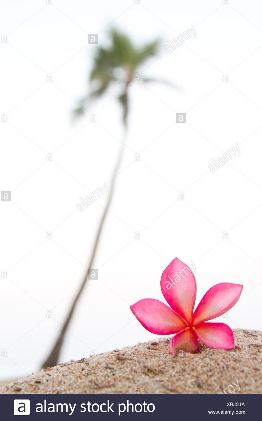 Una rosa plumeria fiore, vicino a lone Palm tree nelle Hawaii. Immagini Stock