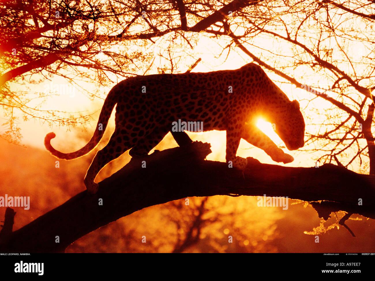 Leopard Namíbia Imagens de Stock