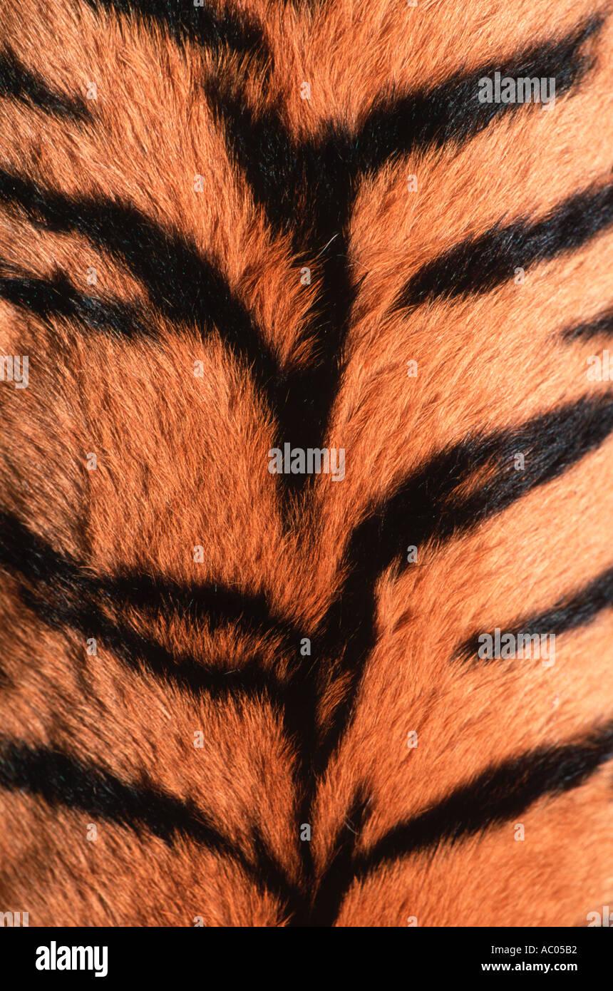 Tiger Panthera tigris mostrando padrão de pele em Perigo asiático mas extinta em muito da sua gama Imagens de Stock