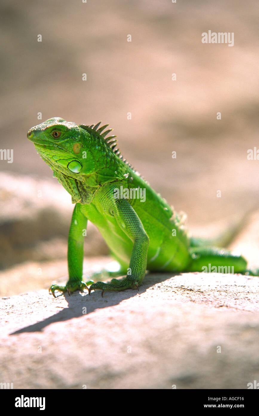 Um Iguana verde posando para uma fotografia na bela ilha de Aruba Imagens de Stock