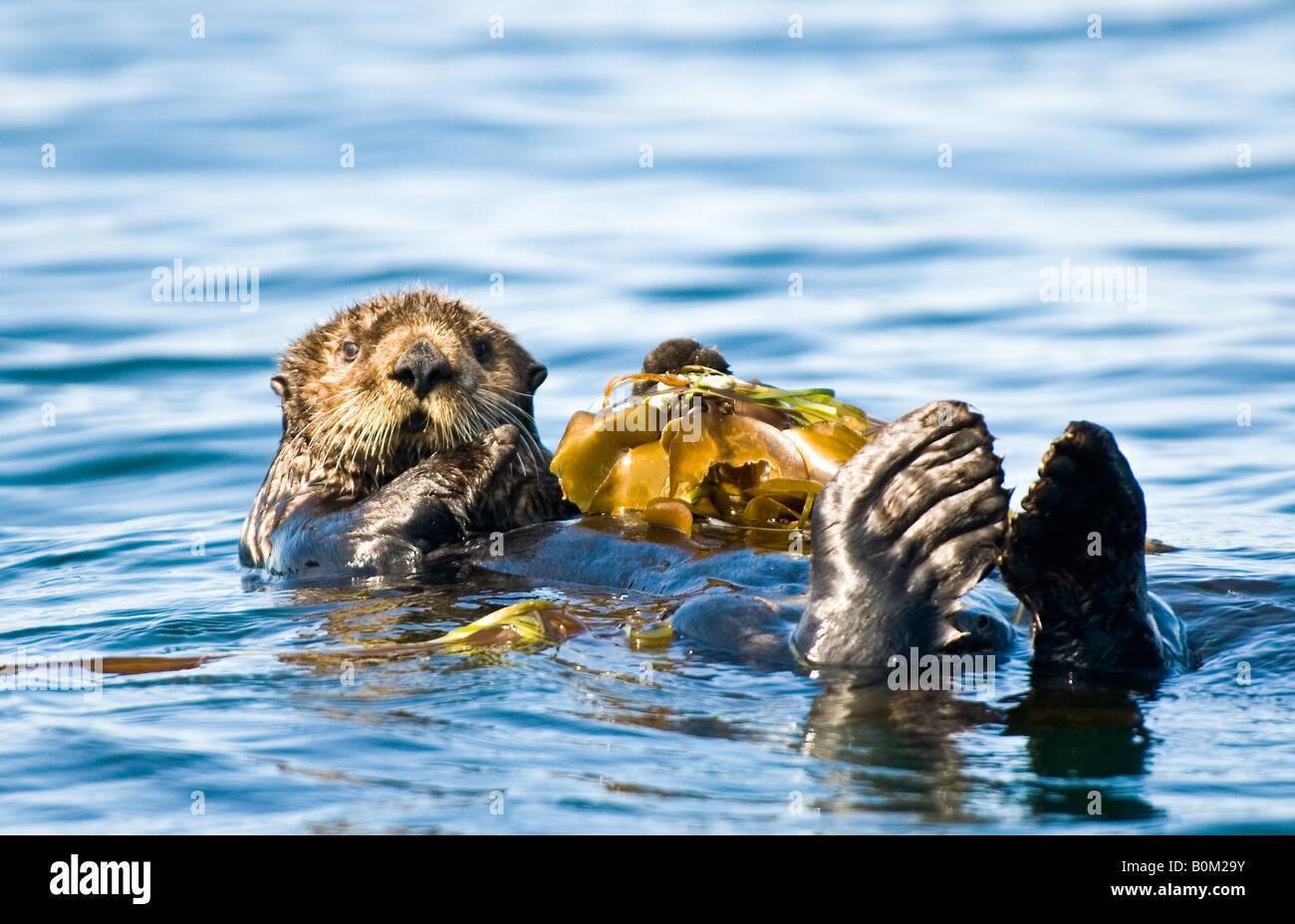 Estados Unidos da América Alasca Sea Otter repousando sobre cama de algas no oceano Imagens de Stock