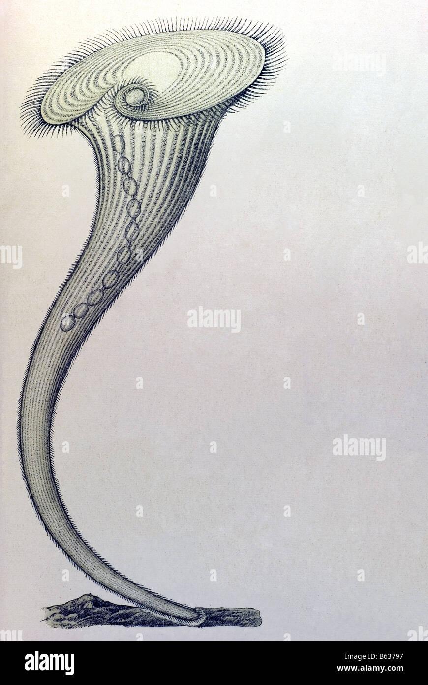 Ciliata / Wimperlinge, Nome Stentor, Haeckel, Kunstformen der Natur, art nouveau, século xx, Europa Imagens de Stock