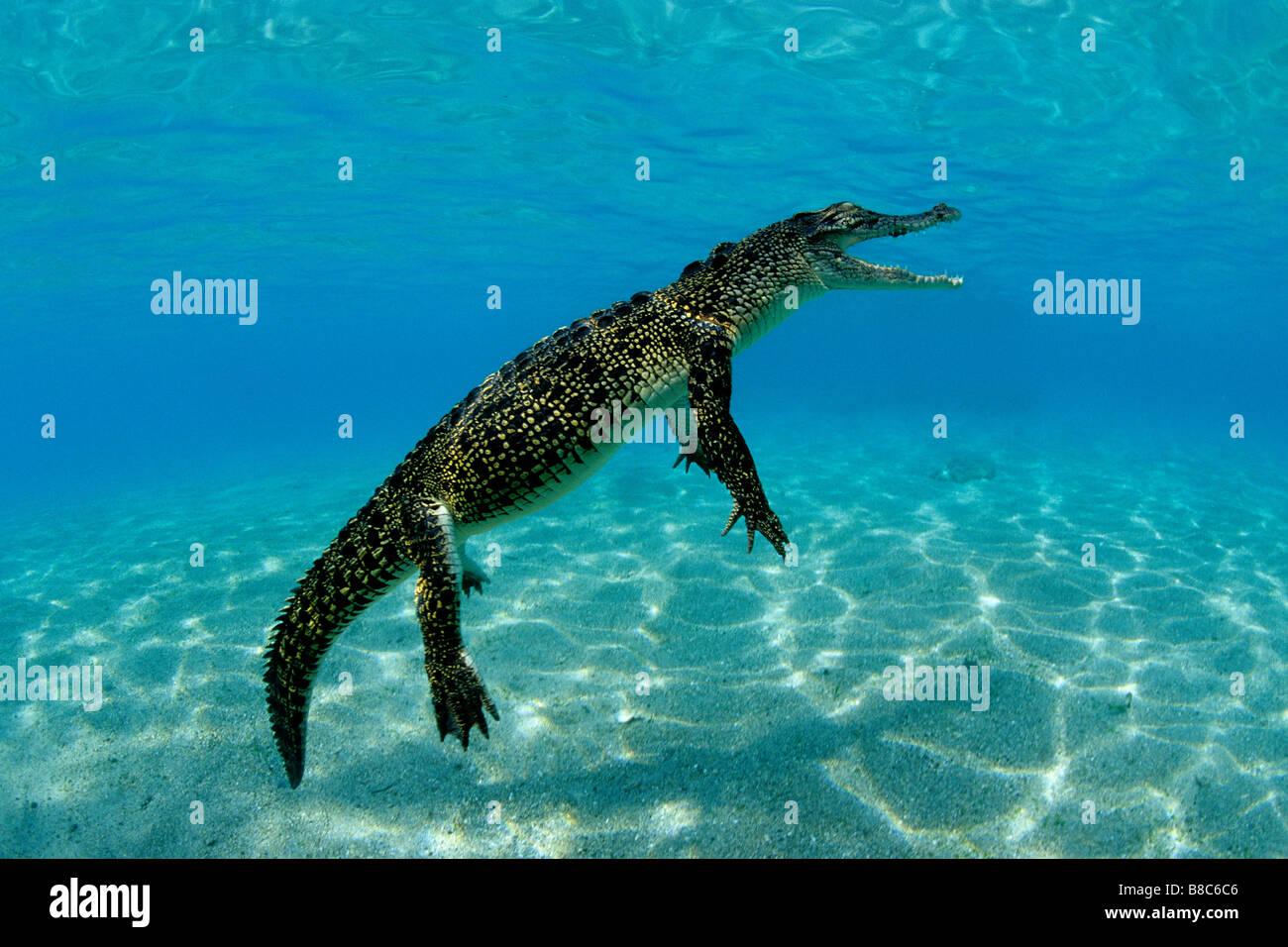Crocodilo de água salgada Imagens de Stock