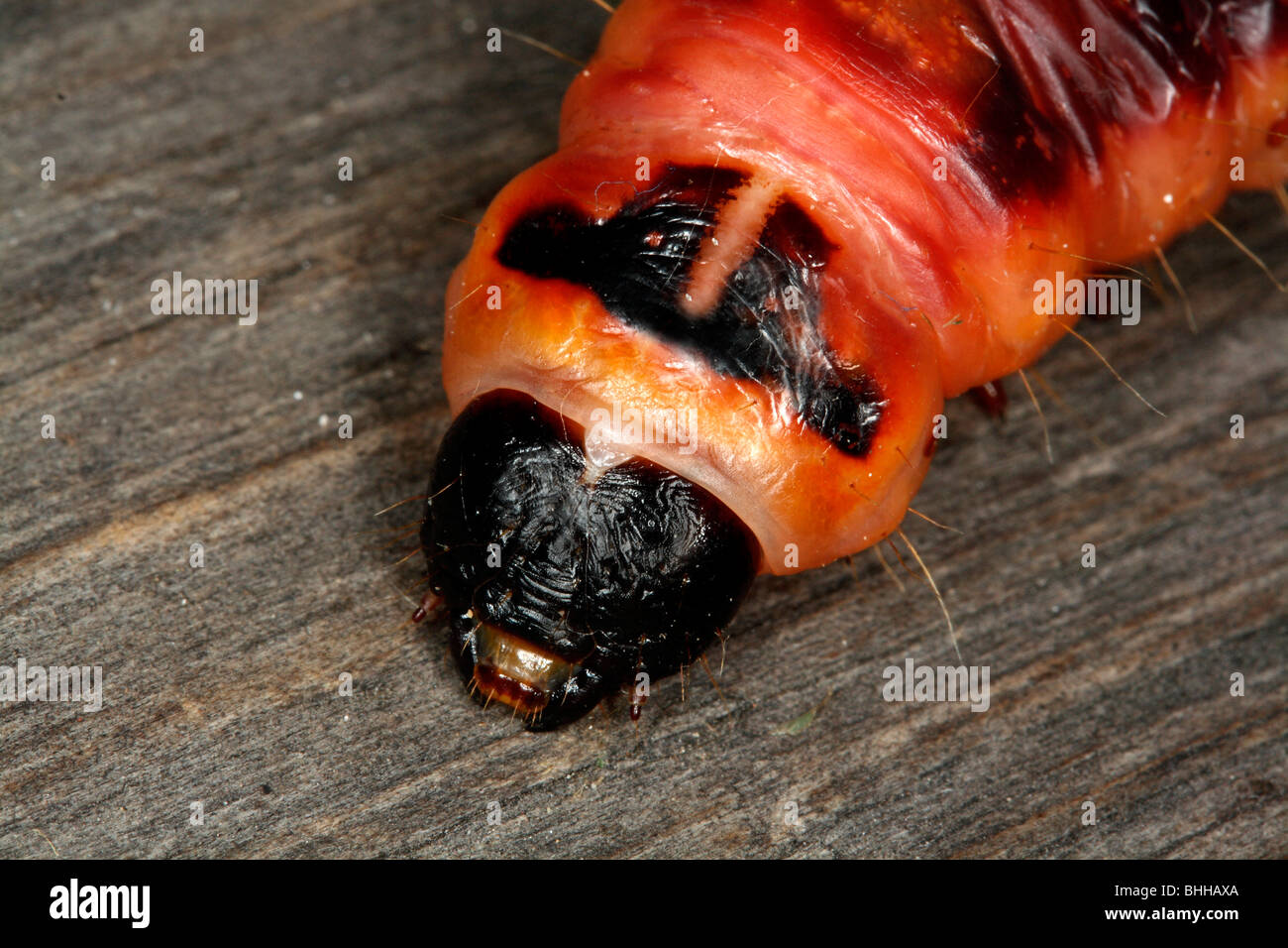 Cabra traça caterpillar, close-up, Suécia. Imagens de Stock