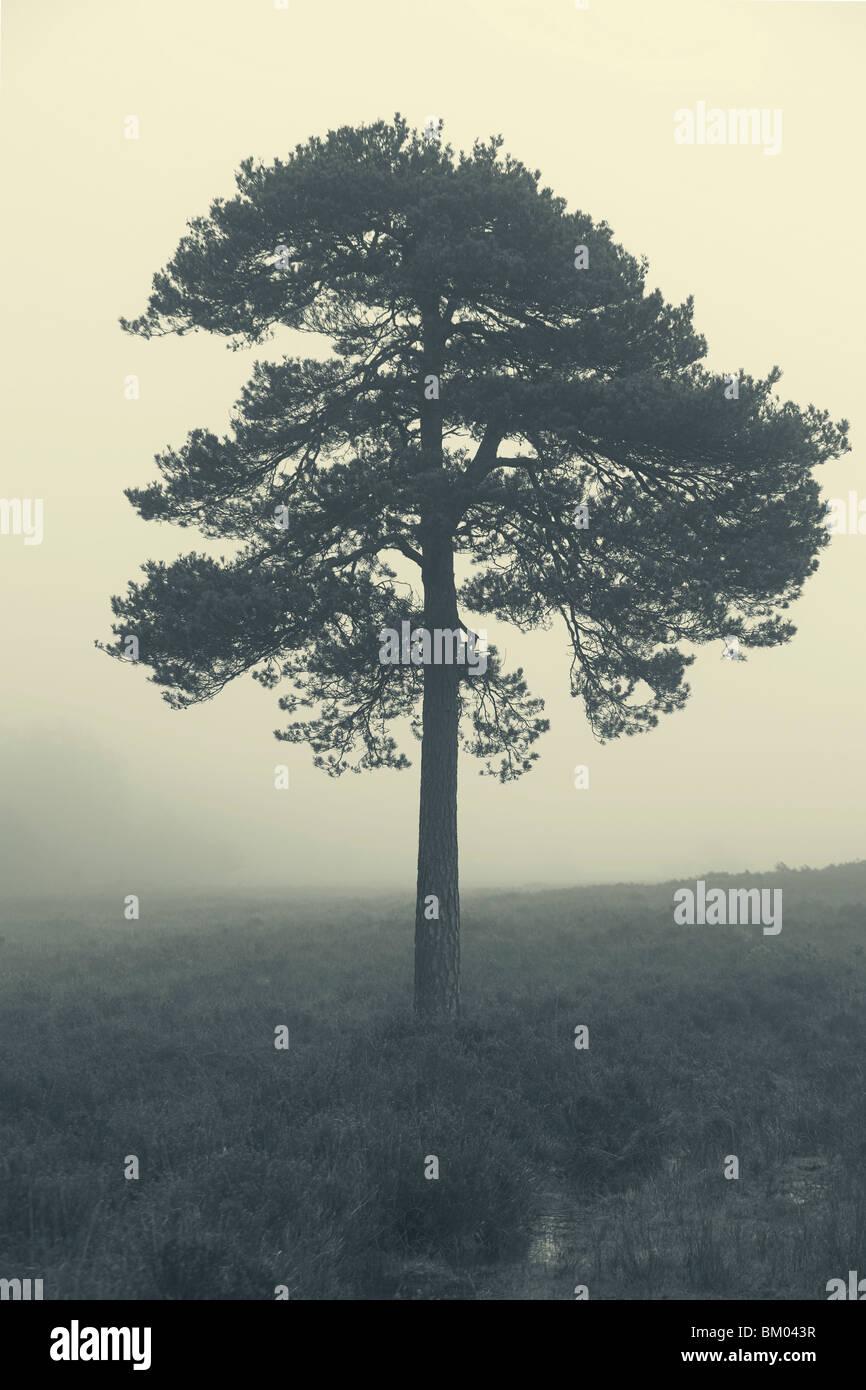 Árvore na névoa ao amanhecer, Nova Floresta, Hampshire, REINO UNIDO Imagens de Stock