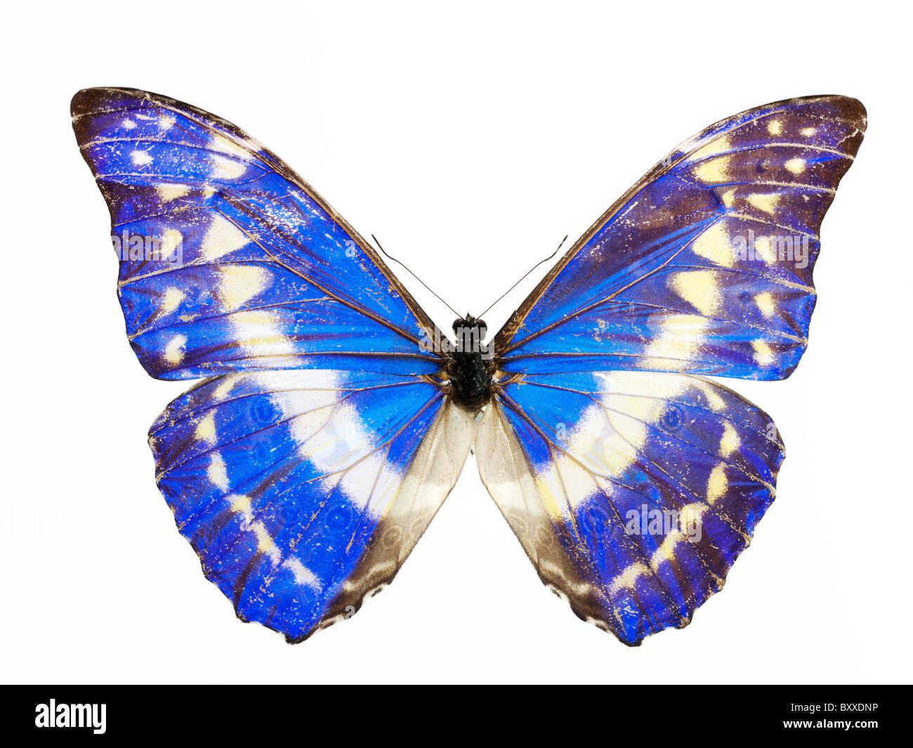 O Morpho helena Butterfly Imagens de Stock