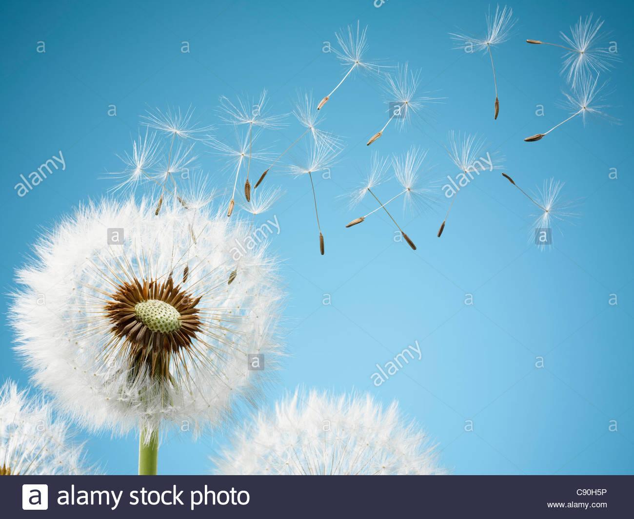 Close-up do dandelion esporos soprando de distância Imagens de Stock