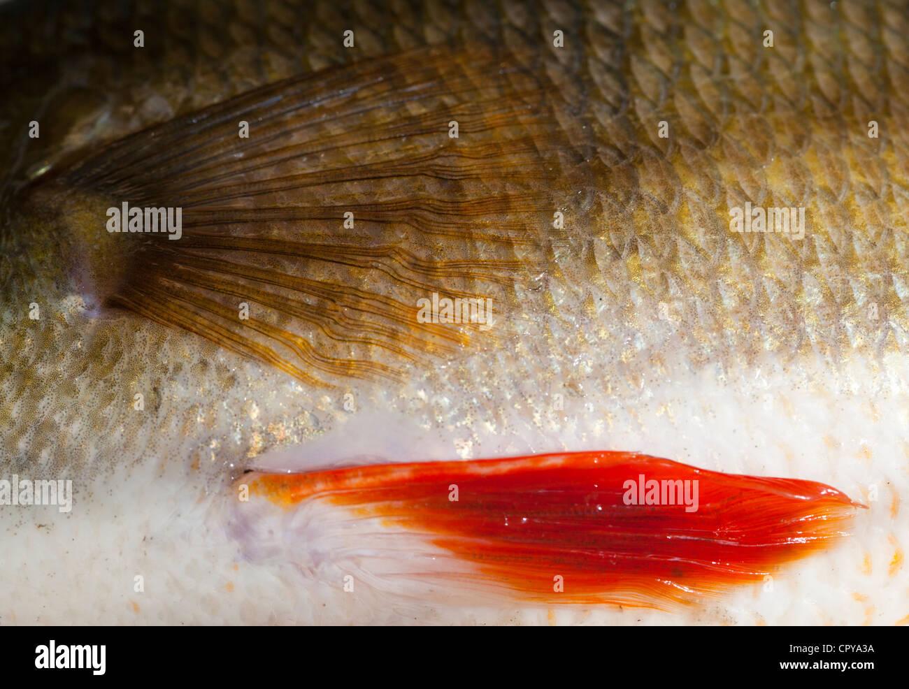 Pele e escamas dos 1,1 kg poleiro onde vivem em água doce ( fluviatilis ) Imagens de Stock