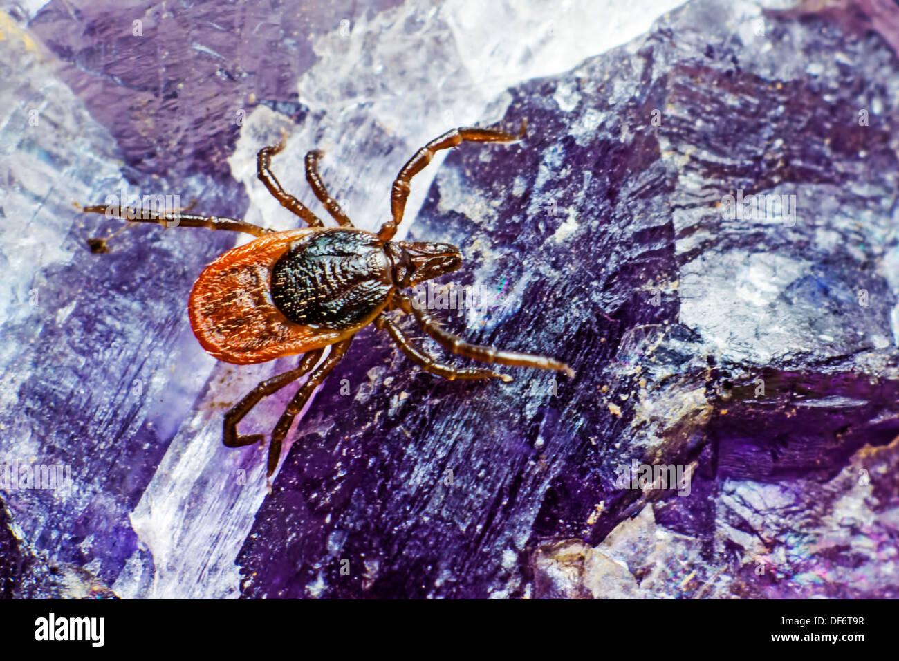 A mamona tick (Ixodes ricinus) Imagens de Stock