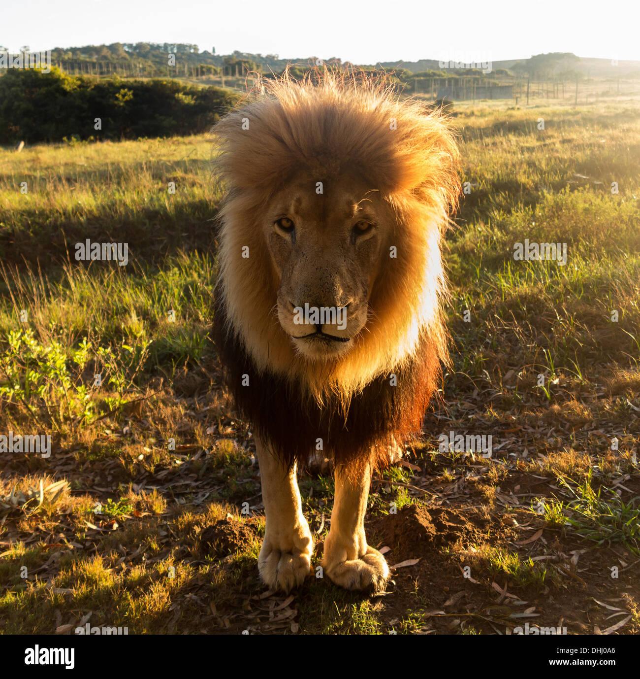 Perto de um antigo grande leão macho olhando para a câmara, retroiluminado, África do Sul Imagens de Stock