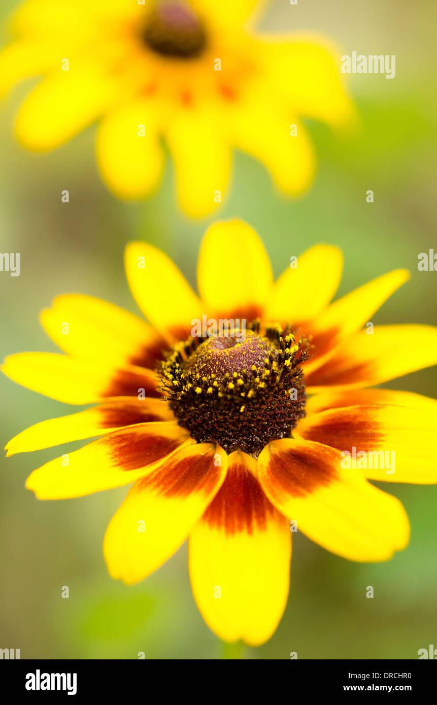 Close-up do black-eyed Susan flor Imagens de Stock
