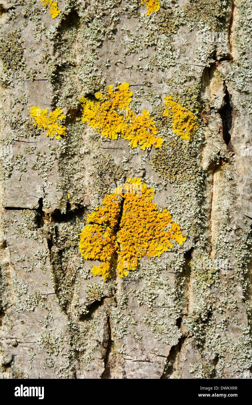 Líquen Amarelo Em Uma Casca De árvore De Textura Macro Close Up Baumstamm  Baumrinde Grau Bege Braun Mit Gelber Hintergrund Flechte Textur