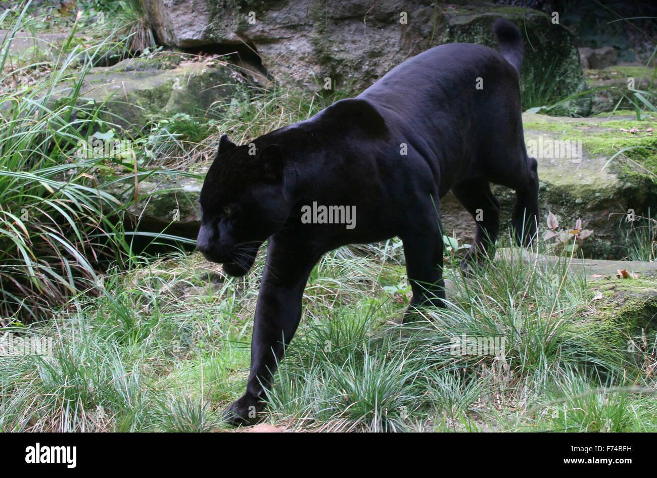 Sul Americano Masculino Black Jaguar (Panthera Onca) à Espreita