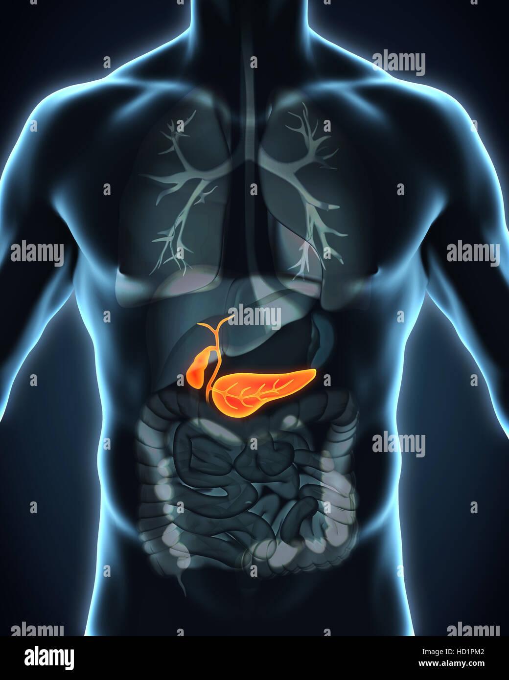 Vesícula biliar e pâncreas Anatomia humana Foto, Imagem de Stock ...