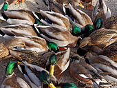closeup-of-mallard-ducks-competing-for-f