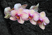white-and-pink-orchid-CR3MNA.jpg