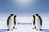 two-pairs-of-penguins-facing-each-other-