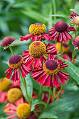 helenium-ruby-tuesday-helens-flower-snee