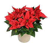 red-poinsettia-plant-in-vase-isolated-on