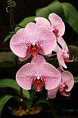 phalaenopsis-orchids-or-known-as-moth-or