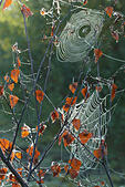 spider-webs-clinging-to-silver-birch-bet