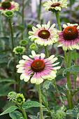 echinacea-purpurea-green-twister-flowers