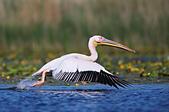 great-white-pelican-pelecanus-onocrotalu