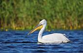 dalmatian-pelican-pelecanus-crispus-in-t