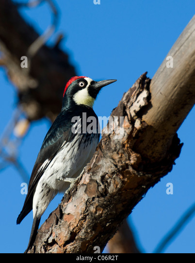 Wood duck videos photos and facts  Aix sponsa  Arkive