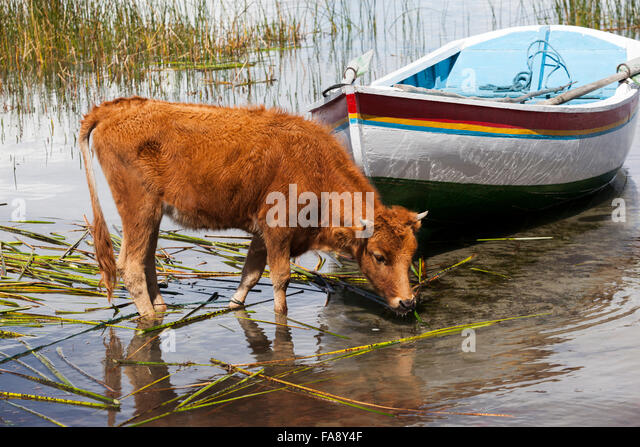 calf-on-the-shore-of-lake-titicaca-isla-